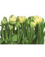KOMAR - fotótapéta (Tulips)