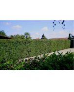 Csodasövény - gyökércsomagolt (növény, Ulmus pumila)