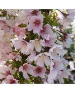 Fuji díszcseresznye - 19cm cserépben (növény, Prunus incisa)