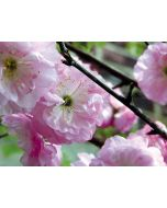 Babarózsa - 17cm cserépben (növény, Prunus Triloba)