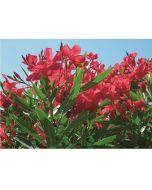 Leander - 17cm cserépben (növény, Nerium oleander)