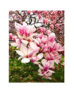 Liliomfa - 11cm cserépben (növény, Magnolia) többfajta