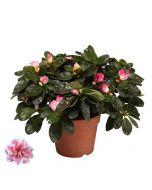 Azálea - 12cm cserépben (növény, Azalea) rózsaszín