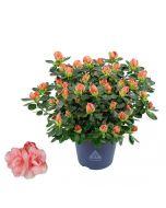Azálea - 13cm cserépben (növény, Azalea Hortino) lazacszín