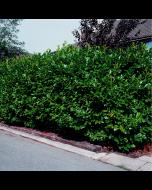 Babérmeggy - C3 konténerben (növény, Prunus laurocerasus)