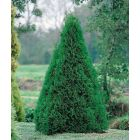Smaragd tuja - 5L konténerben (növény, Thuja occidentalis)