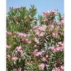 Leander - 18cm cserépben (növény, Nerium oleander)