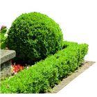 Örökzöld puszpáng - 13cm cserépben (növény,Buxus sempervirens)