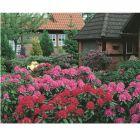 Rododendron - 15cm cserépben (növény, Rhododendron hybride) több színben