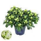 Azálea - 13cm cserépben (növény, Azalea Hortino) lime green
