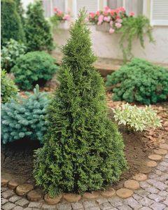 Smaragd tuja - 2L konténerben (növény, Thuja occidentalis)