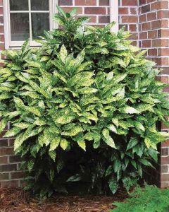 Tarka babérsom - 3L konténerben (növény, Aucuba japonica variegata)